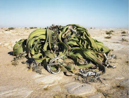 Welwitschia_2000años1