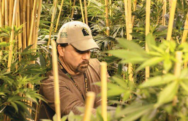 cultivo_marihuana1