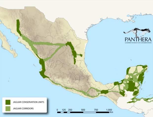 Así lucen las áreas en las que habita el jaguar en México y los corredores que las conectan. Foto: Panthera.
