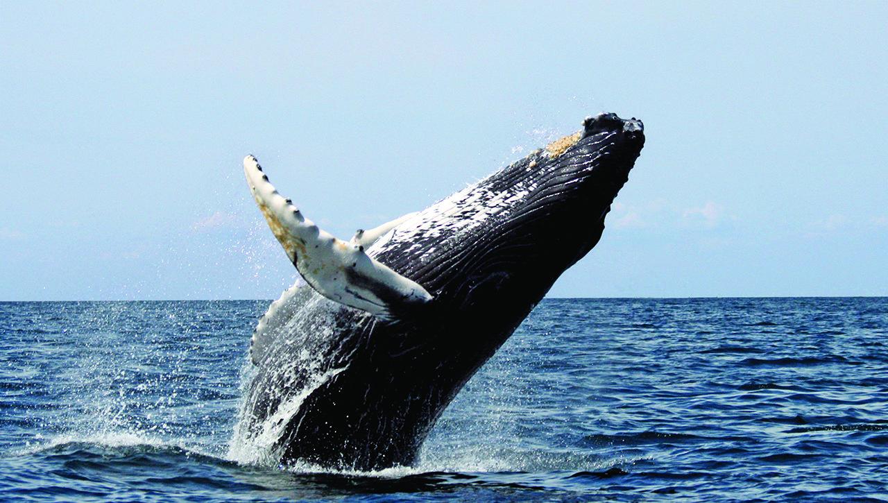humpback_stellwagen