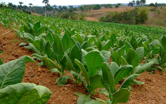 Plantíos de tabaco en Cuba
