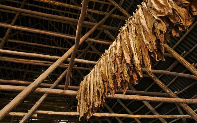 Secado de la hoja de tabaco