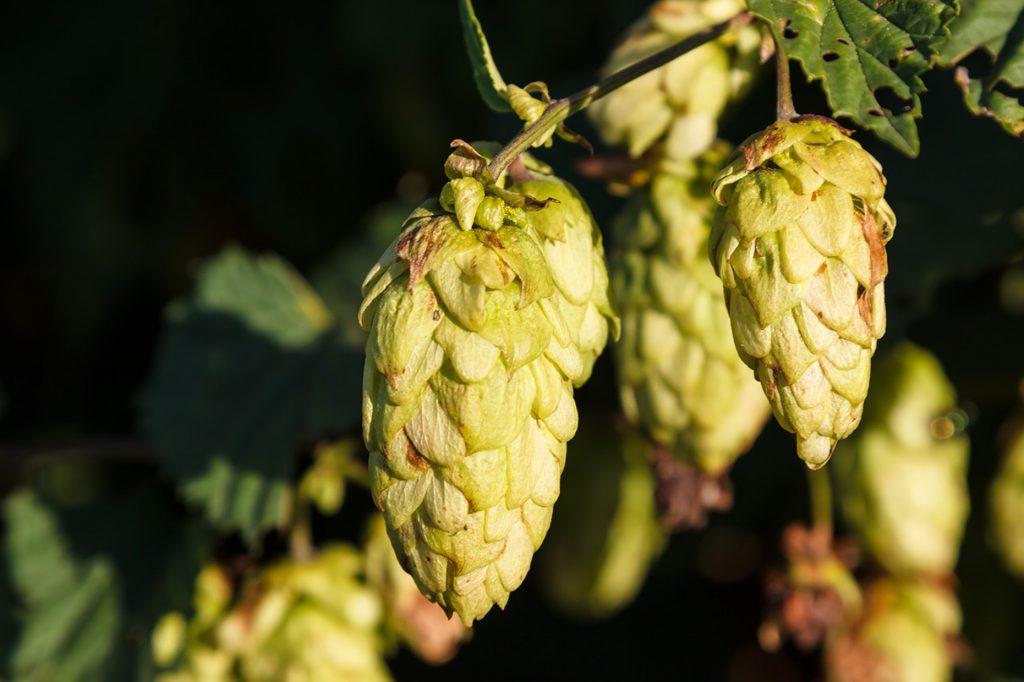 lupulo_cerveza