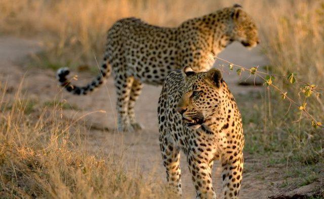 Acercamiento a la vida salvaje de Botswana.