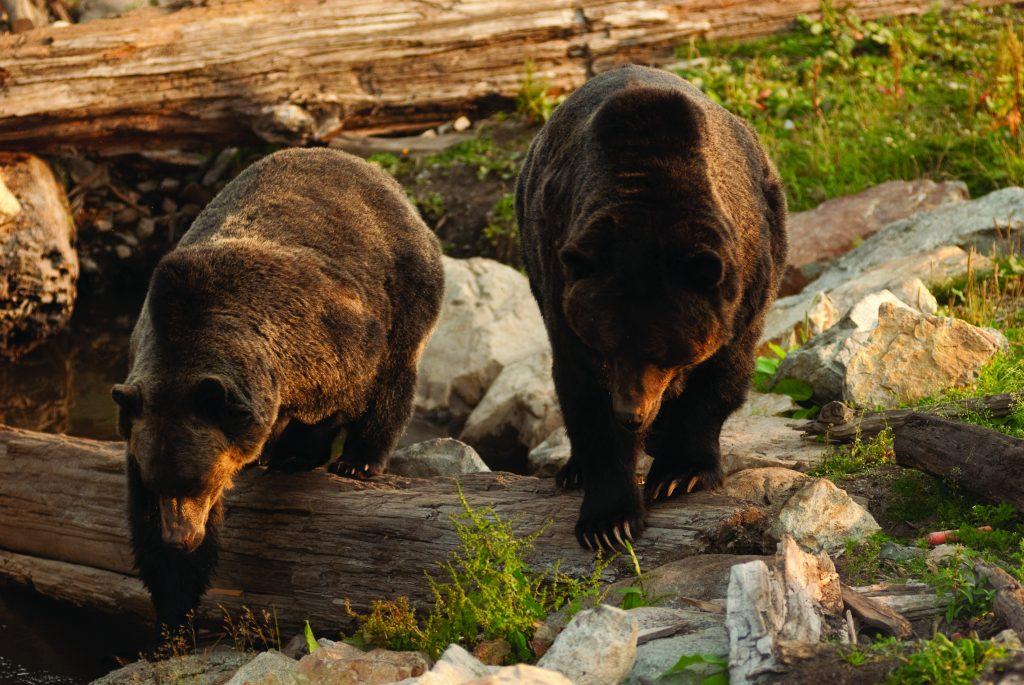 En Vancouver también encuentras osos de montaña.