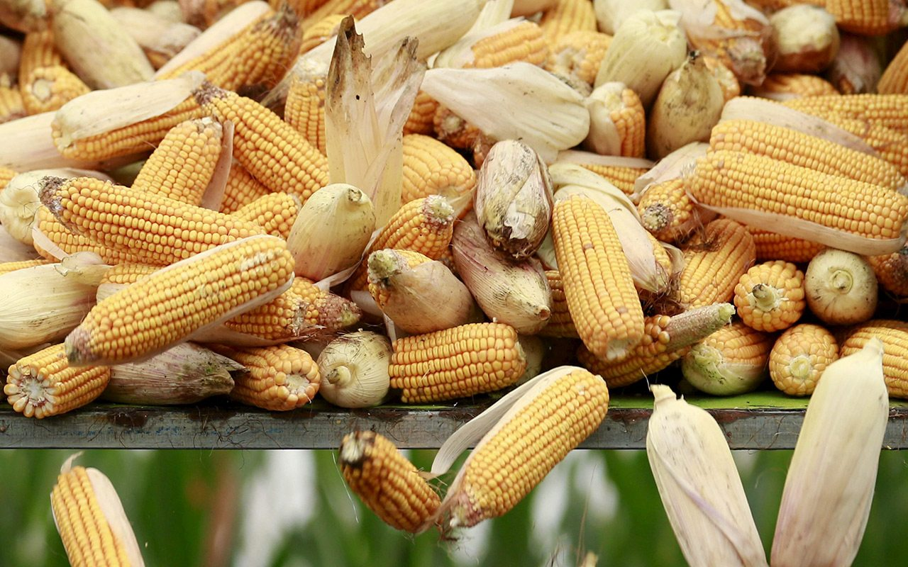 Gobierno analiza reducir impuestos a maíz importado para evitar tortillazo
